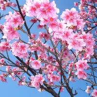 cherryblossom-okinawa_catch