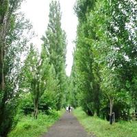北大のポプラ並木